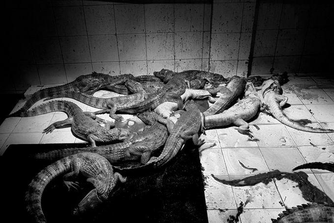 leather-crocodile-11