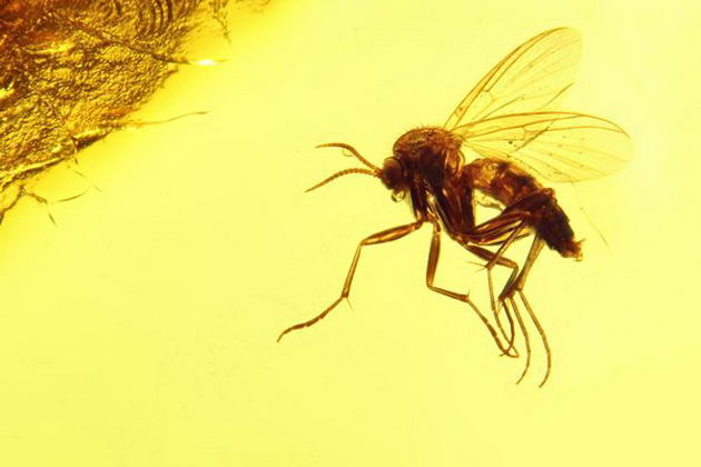 50537463 - fungus gnat mycetophilidae imprisoned in baltic amber